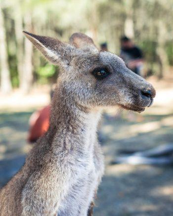 Australian-English-voice-over-kangaroo