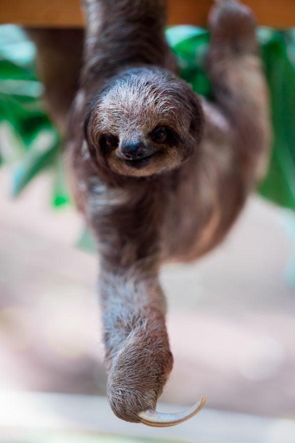 Costa Rican Spanish voice actors - Sloth climbing tree